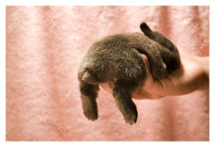 Bunneh, 13 Days Old (bokaholic!) Tags: pink blue cute rabbit feet canon fuzzy tail butt fluffy kit paws 30d scut