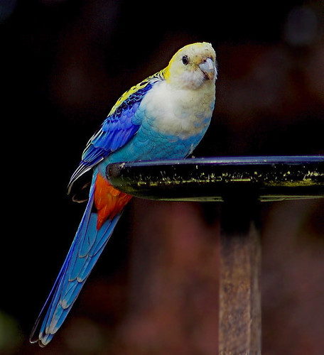 african animals of beautiful rosella parrots photos
