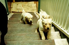 Bess & Puppies - 1997 (Chris&Steve) Tags: dog dogs puppy puppies labrador labradorretriever rbd challengeyouwinner auselite