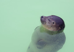 Happy seal (Sjaek) Tags: cute water animal floating seal paws texel ecomare