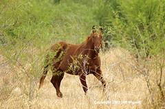 Cowboy Horse, King Ranch, Kingsville, Texas (Jeff Wignall) Tags: horse cowboy texas kingranch nikond70s wildhorses wignall kingsville cowboyhorse kingsvilletexas