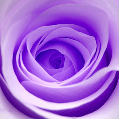 """""""It is at the edge....... (cattycamehome) Tags: flowers roses flower macro love beautiful beauty rose tag3 taggedout petals bravo tag2 all tag1 purple heart blossom  lavender romance petal lilac rights mauve reserved catherineingram hiddenheart abigfave artlibre march2007 cattycamehome superbmasterpiece allrightsreserved"""