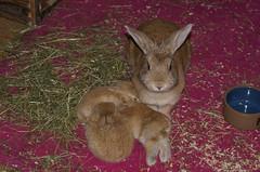 Proud mum (Sjaek) Tags: sleeping pet pets cute rabbit bunny bunnies sony adorable fluffy pip rabbits alpha dslr