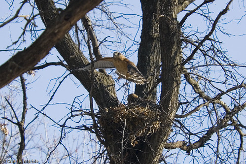 Red Shouldered Hawks on Nest 2007
