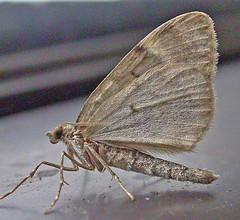 1769-DSCN0839 Spruce Carpet (Thera britannica) (ajmatthehiddenhouse) Tags: geometridae larentiinae moth sprucecarpet therabritannica thera britannica uk kent stmargaretsatcliffe garden