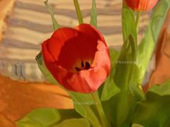 Lichter & Schatten - intensiv (verstrkt) (matthias_oberlausitz) Tags: flower blume hdr tulpe