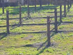 Grape vines in Napa (Ted Drake) Tags: travel food ted wine roadtrip winery napa copia jimdunord