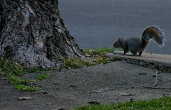 Watching The Traffic Go By (mightyquinninwky) Tags: road street trees tree grass squirrel kentucky branches sidewalk lexingtonky twigs chevychase fontaineroad centralkentucky