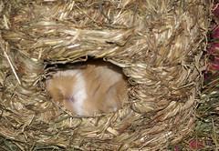 Sleeping baby bun (Sjaek) Tags: sleeping cute bunny bunnies nest adorable fluffy