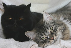 together..at last! (arny johanns) Tags: friends cats pets black cute beautiful portraits furry sweet gorgeous gray together precious kitties finally tinna kisur norwegianforestcat vinir sunna kettir bestofcats impressedbeauty diamondclassphotographer flickrdiamond mysweeties exoticshorthairpersian