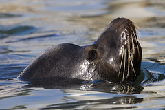 sea-lion-morro-bay_2