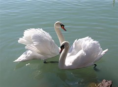 Mute Swan couple (elisabatiz) Tags: nature animals hungary swans balaton