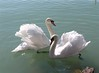 Mute Swan couple (elisabatiz) Tags: nature animals hungary swans balaton