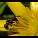 Foraging on Lesser Celandine (Ranunculus ficaria)