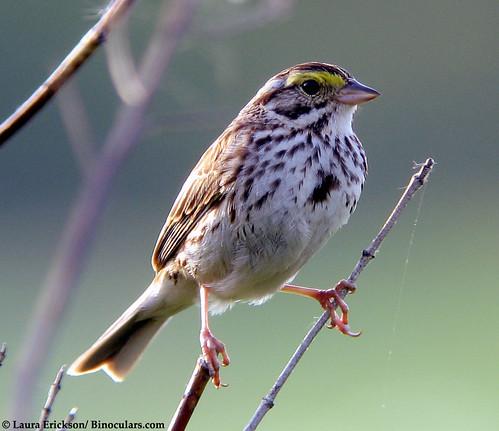 Savannah-Sparrow-01