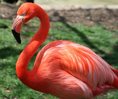 Flamingo IMG_0385 (OZinOH) Tags: columbuszoo columbus ohio bird birds zoo flamingo columbusohio phoenicopterusruber columbusoh phoenicopteridae phoenicopterus xt150mm