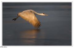 Sandhill Icy takeoff (mikecullivan) Tags: birds bosquedelapache sandhillcrane sandhillcranes nature newmexico national wildlife refuge cranepools