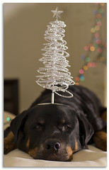 Look at what's under the Christmas Tree! (RottieLover) Tags: christmas dog pet pets tree dogs animal animals puppy 50mm lights puppies nikon rottweiler 2006 christmastree balance d200 vesuvio rottie rottweilers 50mmf14d rotties mrsu animaladdiction nikonstunninggallery vesu impressedbeauty