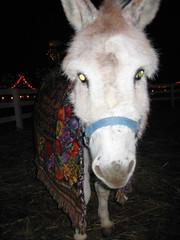 zeb, the xmas jackass (the queen of subtle) Tags: christmas winter animals donkey 2006 zeb menominee krygoskifarm