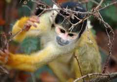 Squirrel monkey - by mape_s