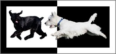 Ying and Yoshi (Randy Son Of Robert) Tags: pet white black dogs action westie canine terrier 5bestdogs yoshi high5 yingandyang 10faves weewestie