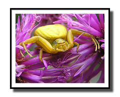 yellow crab spider (johnbird30) Tags: bravo spiders crabspider yellowcrabspider janos1930 qemdadminfave