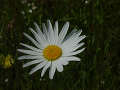 Large Daisy (Kirsten M Lentoft) Tags: white flower closeup daisy momse2600 kirstenmlentoft