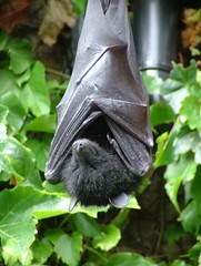 Livingstone's Fruit Bat