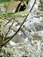 Blue Emperor dragonfly (Bob Reimer) Tags: dragonfly resting oman oleander anisoptera anaximperator blueemperor khutwah enhg wilayatmahdah