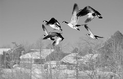 flight (skypeople) Tags: 15fav denver canadageese hutchinsonpark
