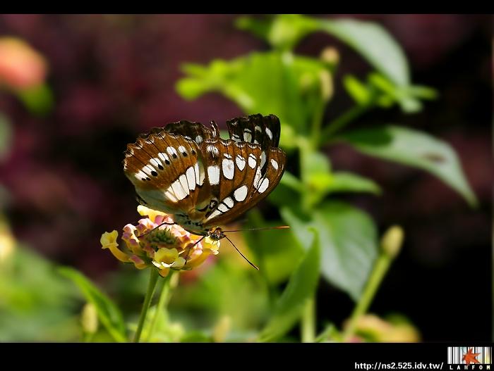 陽光‧三線蝶