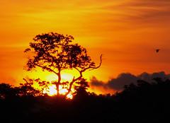 Sunset Bird (Mangiwau) Tags: new sunset west bird silhouette indonesia guinea jungle papua keerom irian idenburg