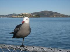 sanfrancisco bird alcatrez