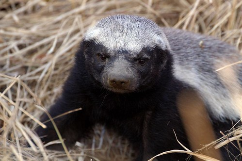 Honey Badger Don't Give A Hoot