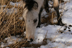 sniffing my boots  #9 (soulvision) Tags: baby young wildhorses pentictonbc