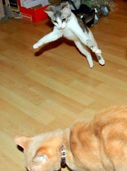 InCOMING!!!! (Malingering) Tags: crazy kitten milo attack kittens explore catfight actioncats zumi interestingness27 cat1000