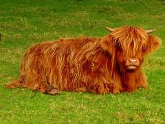 La vache Ecossaise     ,,,The highland cow (Nicolas Valentin) Tags: brown green scotland countryside cow vache