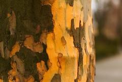 peeling (Maharepa) Tags: leica tree peeling bokeh bark m8 noctilux baum rinde photodesign fotodesign borke shootwideopen leicam8 leicanoctilux50mmf10