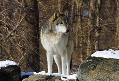 Lukas, Beta Male (kotobuki711) Tags: trees winter snow ny newyork cold male forest mammal wolf outdoor conservation canine beta lukas wolves southsalem animalkingdomelite wolfconservationcenter britishcolumbianwolf