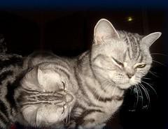Two moons... (Jaedde & Sis) Tags: cat silver denmark kat tabby gato clone gatto gatti cc100 katza moonshade flickrchallengegroup