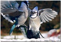 Fight! (dee_r) Tags: bluejays soe beautifulearth specnature specanimal abigfave anawesomeshot impressedbeauty ultimateshot afiercebattle