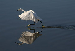 """Sorry, No Time to Chat!"" (jcowboy) Tags: reflection bird heron nature birds animal animals japan fauna reflections bravo searchthebest wildlife aichi egret okazaki herons egrets splendiferous supershot magicdonkey featheryfriday specanimal animalkingdomelite abigfave specanimalphotooftheday colorphotoaward impressedbeauty superbmasterpiece beyondexcellence goldenphotographer avianexcellence specanimalphotoofthemonth lightstylus"