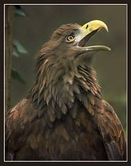 Eagle (hvhe1) Tags: bird nature birds animal animals bravo eagle quality wildlife seaeagle specanimal animalkingdomelite abigfave hvhe1 hennievanheerden impressedbeauty goldenphotographer