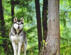 Star (Peggy Collins) Tags: pet dogs animals husky wolf explore malamute eyeofthebeholder interestingness48 i500 impressedbeauty