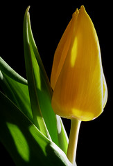 Yellow Tulip (jerseyimage) Tags: flower macro green yellow closeup canon stem raw indoors single tulip dslr leafs 400d abigfave jerseyimage