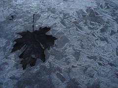 Naturaleza fra (AcquaClara) Tags: naturaleza ice hojas hielo gelatto fria