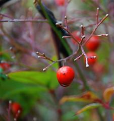 Mr. Lonely (RichGreenePhotography.com) Tags: winter red berry bokeh shrub barren richgreenephotography