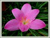 Zephyranthes grandiflora (Rain Lily, Zephyr Lily, Fairy Lily)