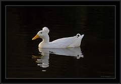 A Duck called Elvis (Barbara J H) Tags: white lake duck australia qld helluva whiteduck crestedduck featheryfriday whitecrestedduck fowlfeatheredfriends barbarajh jhcanon northbuderimlake northbuderim