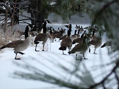 geese in focus